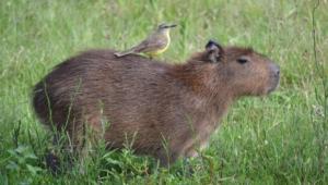 Capybara Desktop