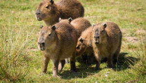 Capybara Hd Background