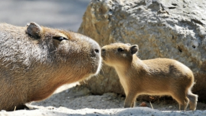 Capybara Photos