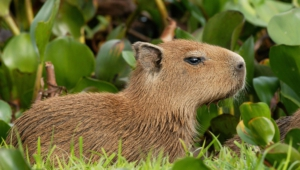 Capybara Wallpapers
