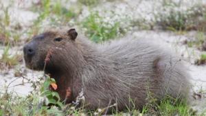 Capybara Widescreen