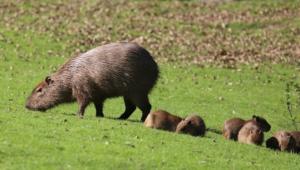 Capybara Full Hd