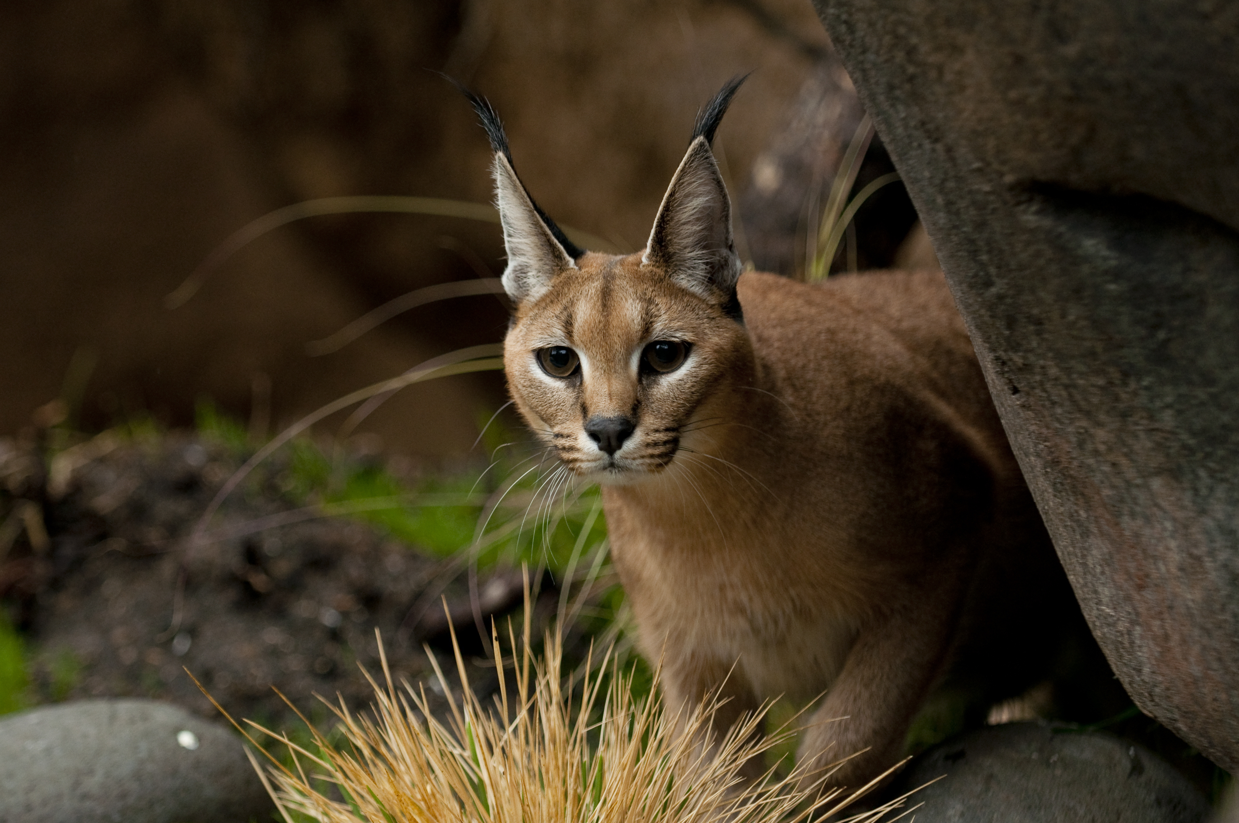 Caracal Hd Wallpaper