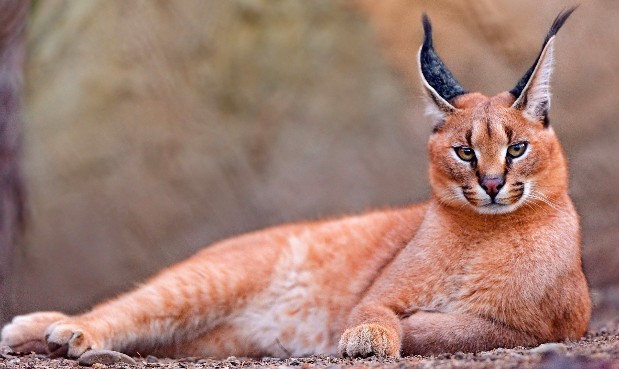 Caracal High Quality Wallpapers