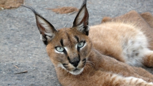 Caracal Wallpaper