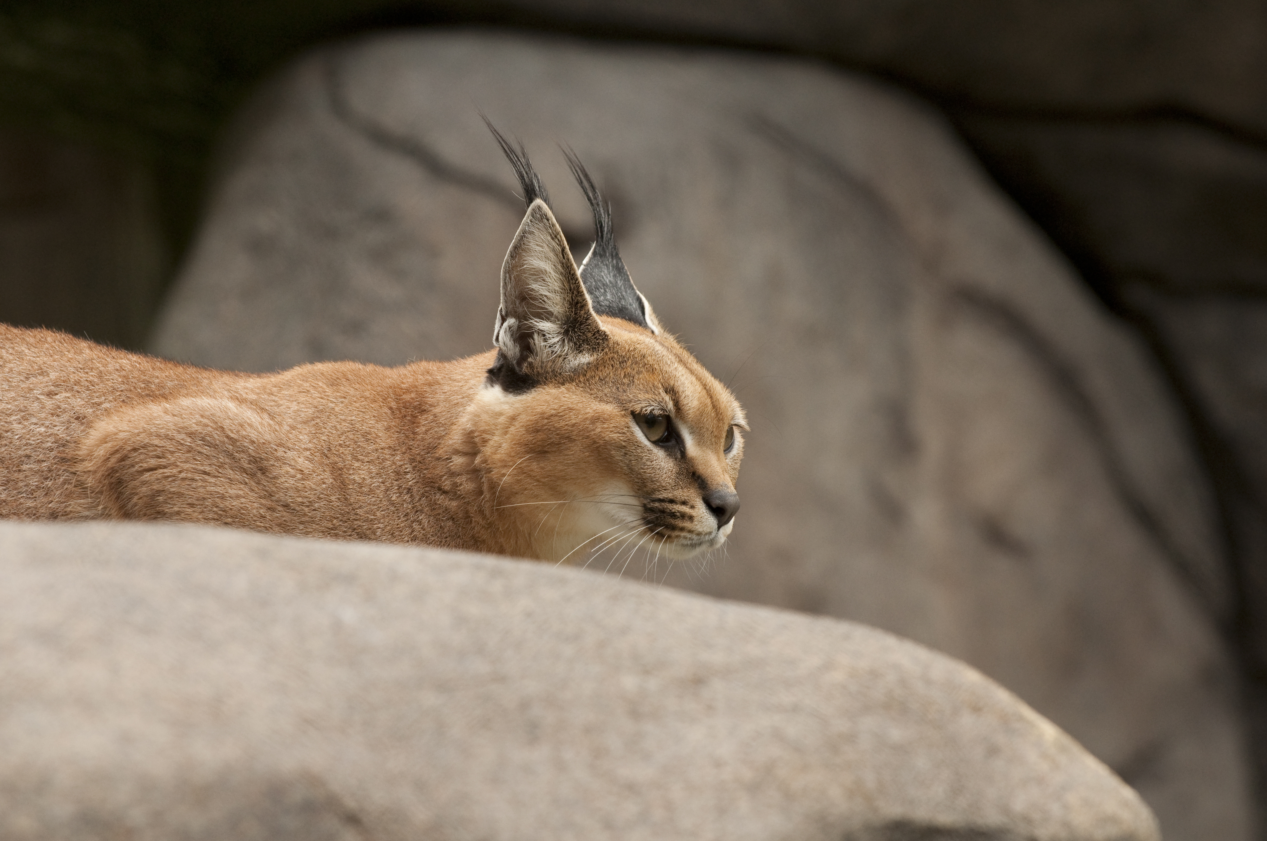 Caracal Wallpapers Hq