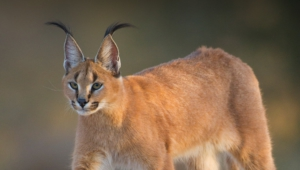 Caracal Widescreen