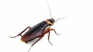 Cockroach Wallpaper