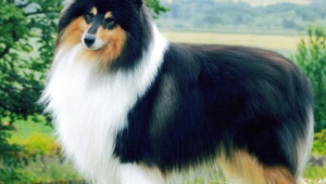 Collie Pictures