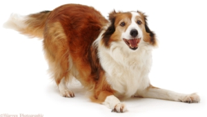 Collie Wallpapers
