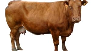 Cow Desktop