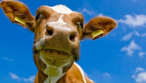 Cow Hd