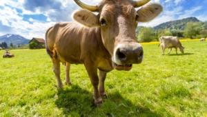 Cow Photos