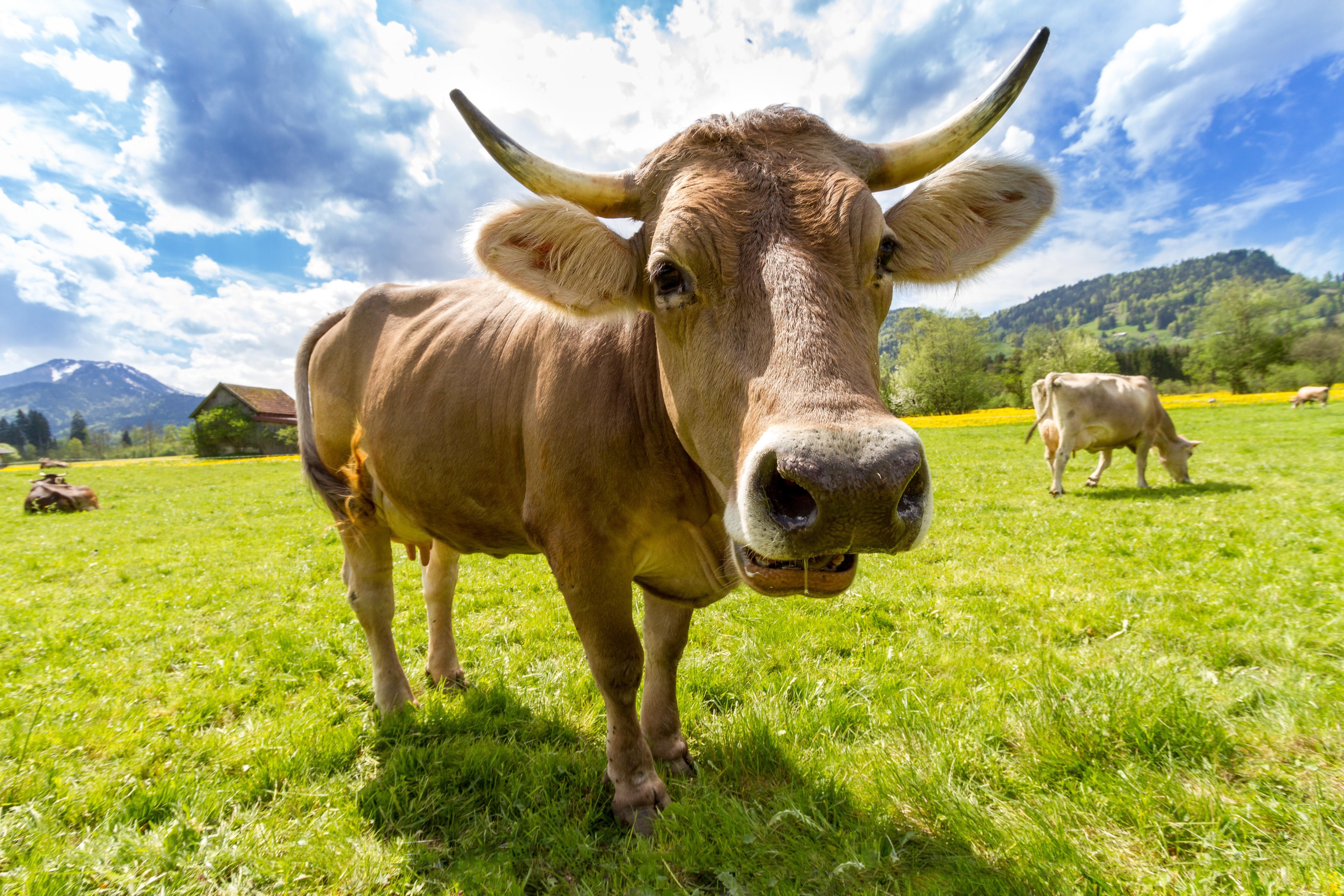 Cow Widescreen