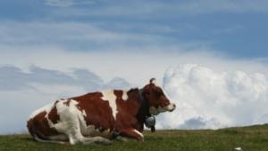 Cow For Desktop