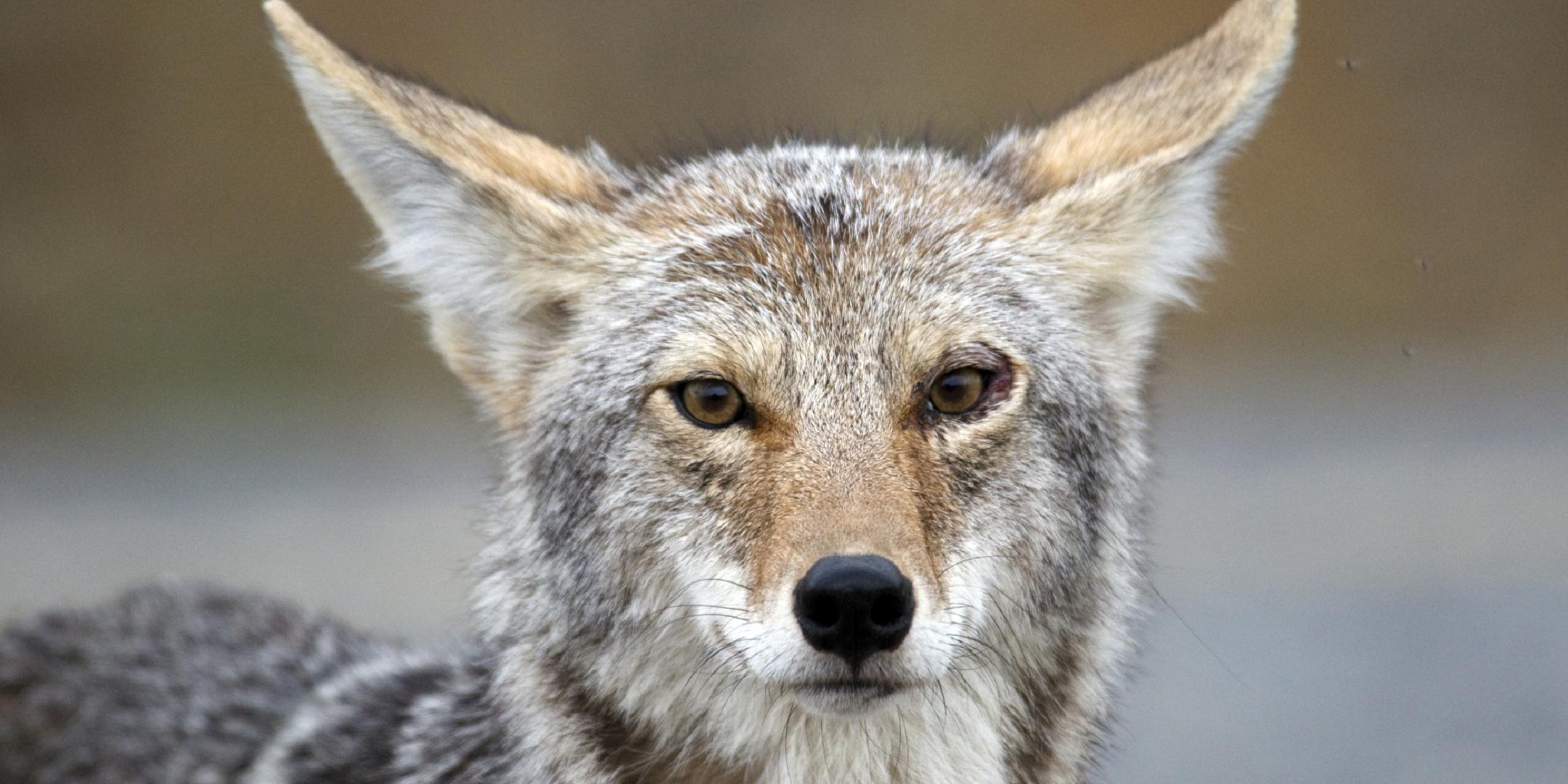 Coyote 4k