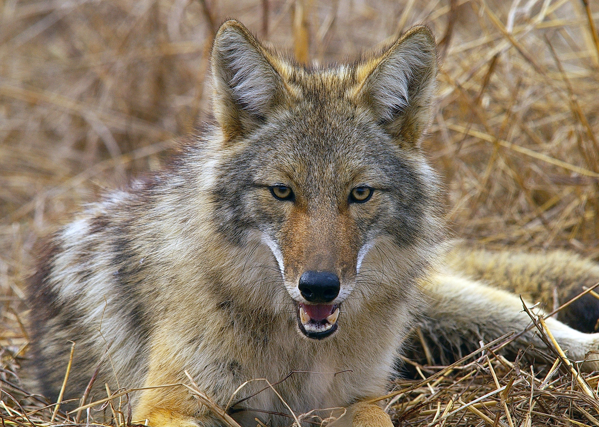 Coyote Hd Background