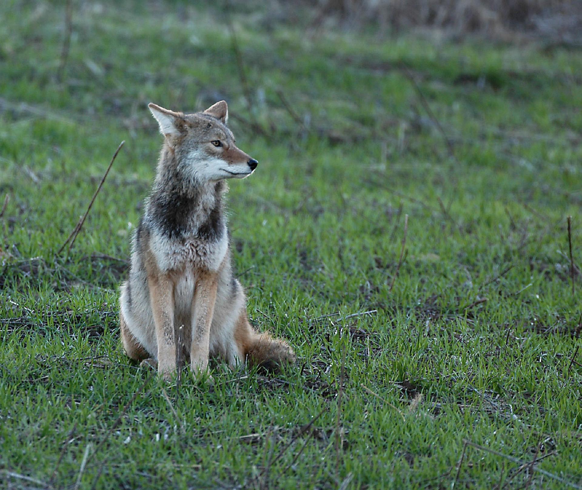 Coyote Hd Wallpaper