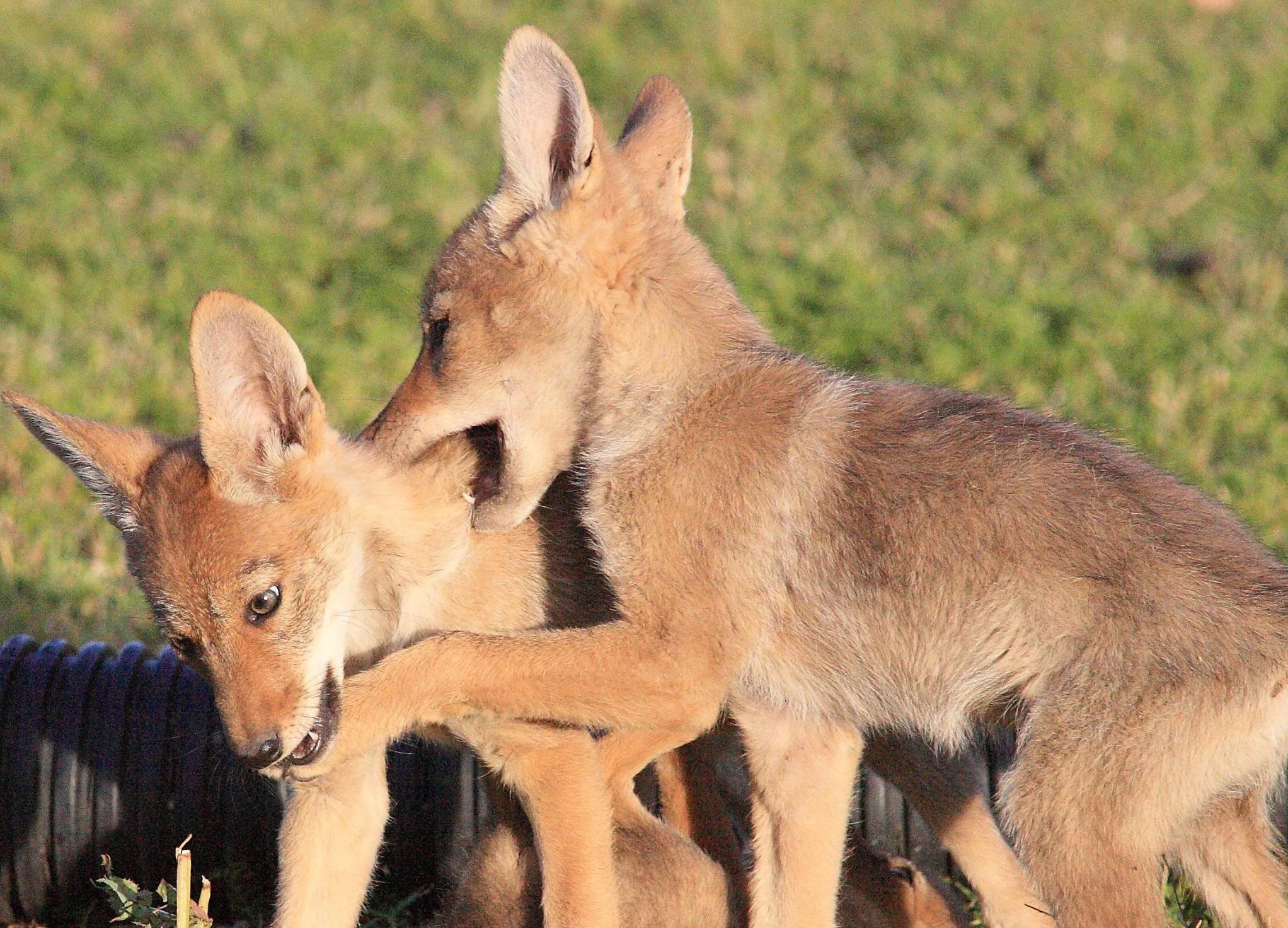 Coyote For Desktop