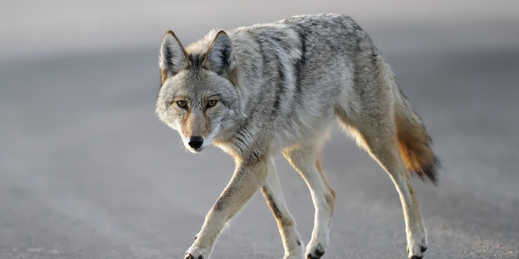 Coyote Full Hd