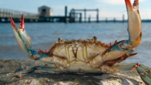 Crab 4k