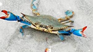 Crab Background