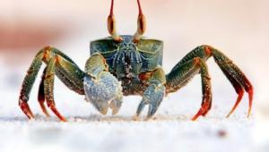Crab Computer Wallpaper