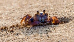 Crab Hd