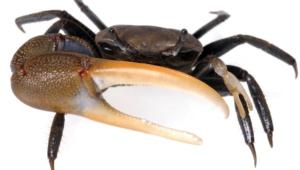 Crab Hd Desktop