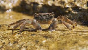 Crab Hd Wallpaper