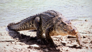 Crocodile 4k