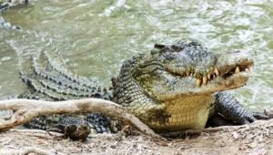 Crocodile Hd Background