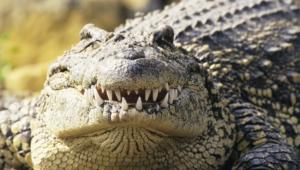 Crocodile Hd Desktop