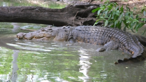 Crocodile Hd Wallpaper