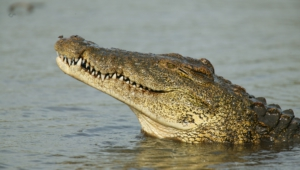 Crocodile Wallpapers
