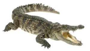 Crocodile Widescreen