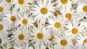 Daisy Hd
