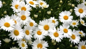 Daisy Pictures