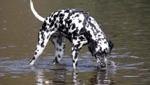 Dalmatian Widescreen
