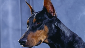 Doberman Pinscher Wallpapers