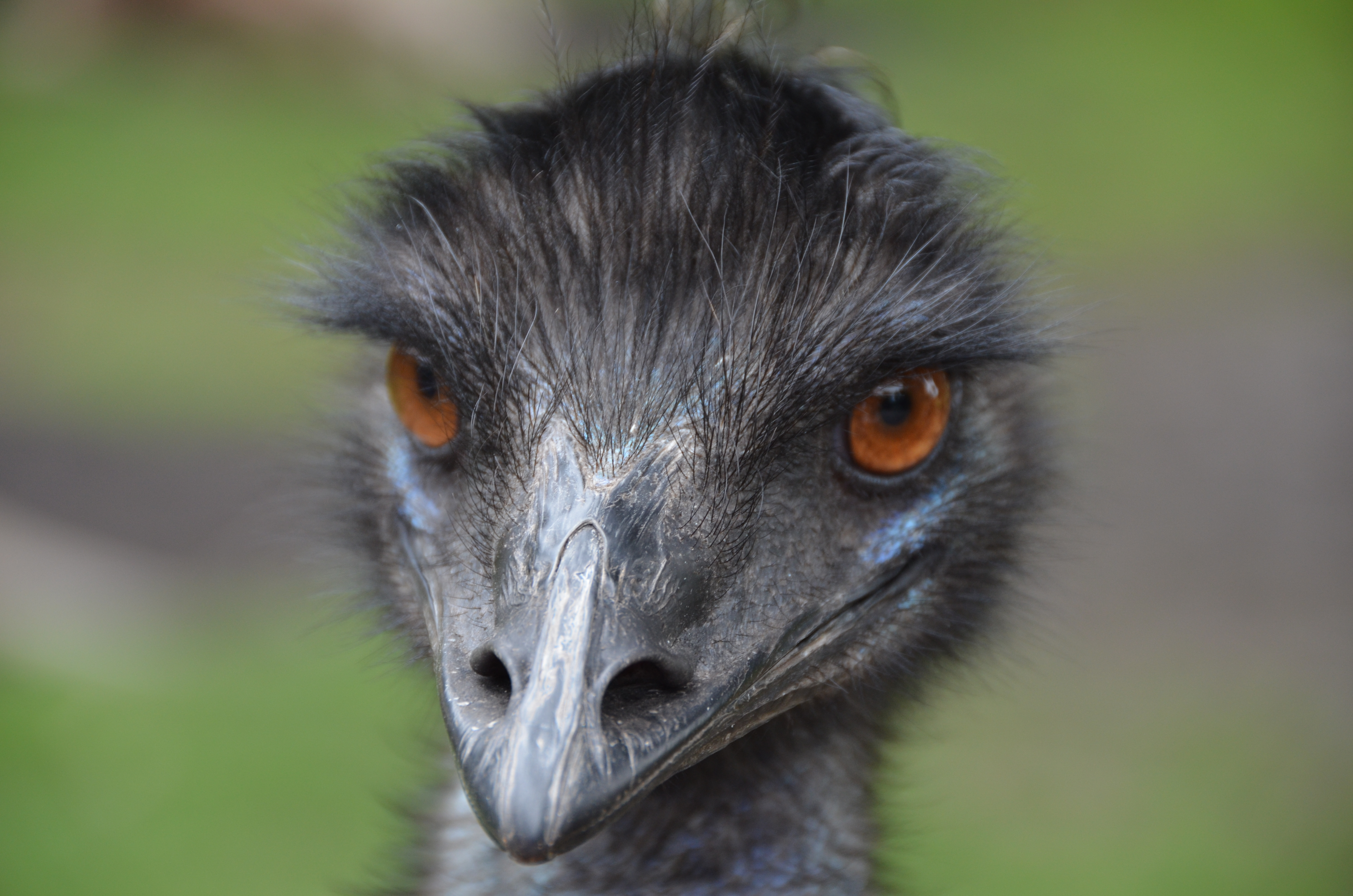 Emu High Definition Wallpapers