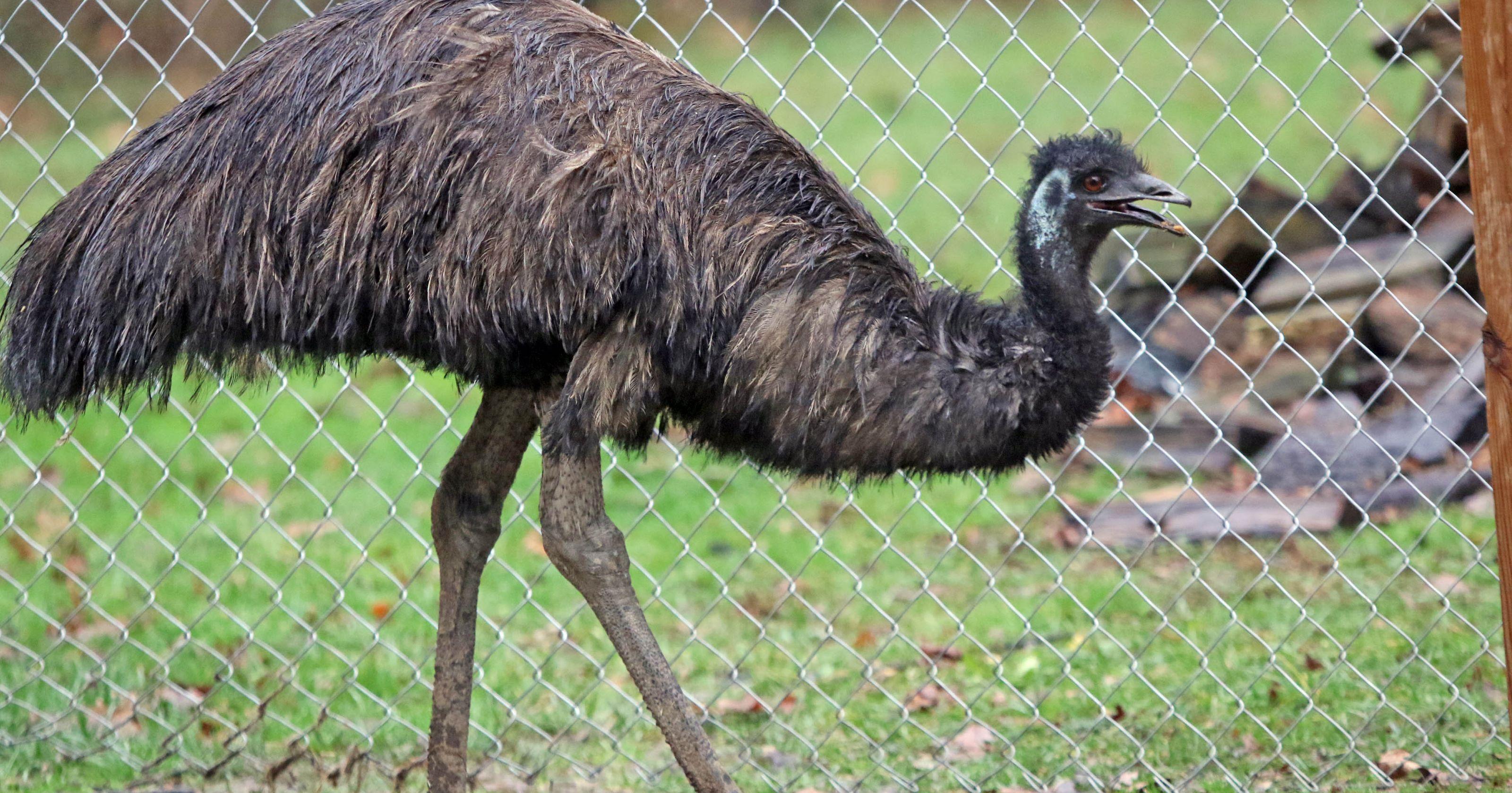 Emu Images