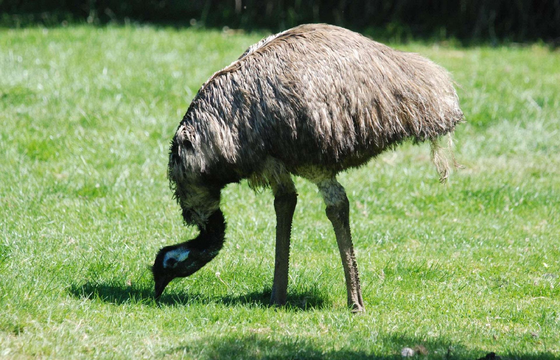 Emu Full Hd