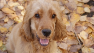 English Cocker Spaniel Images