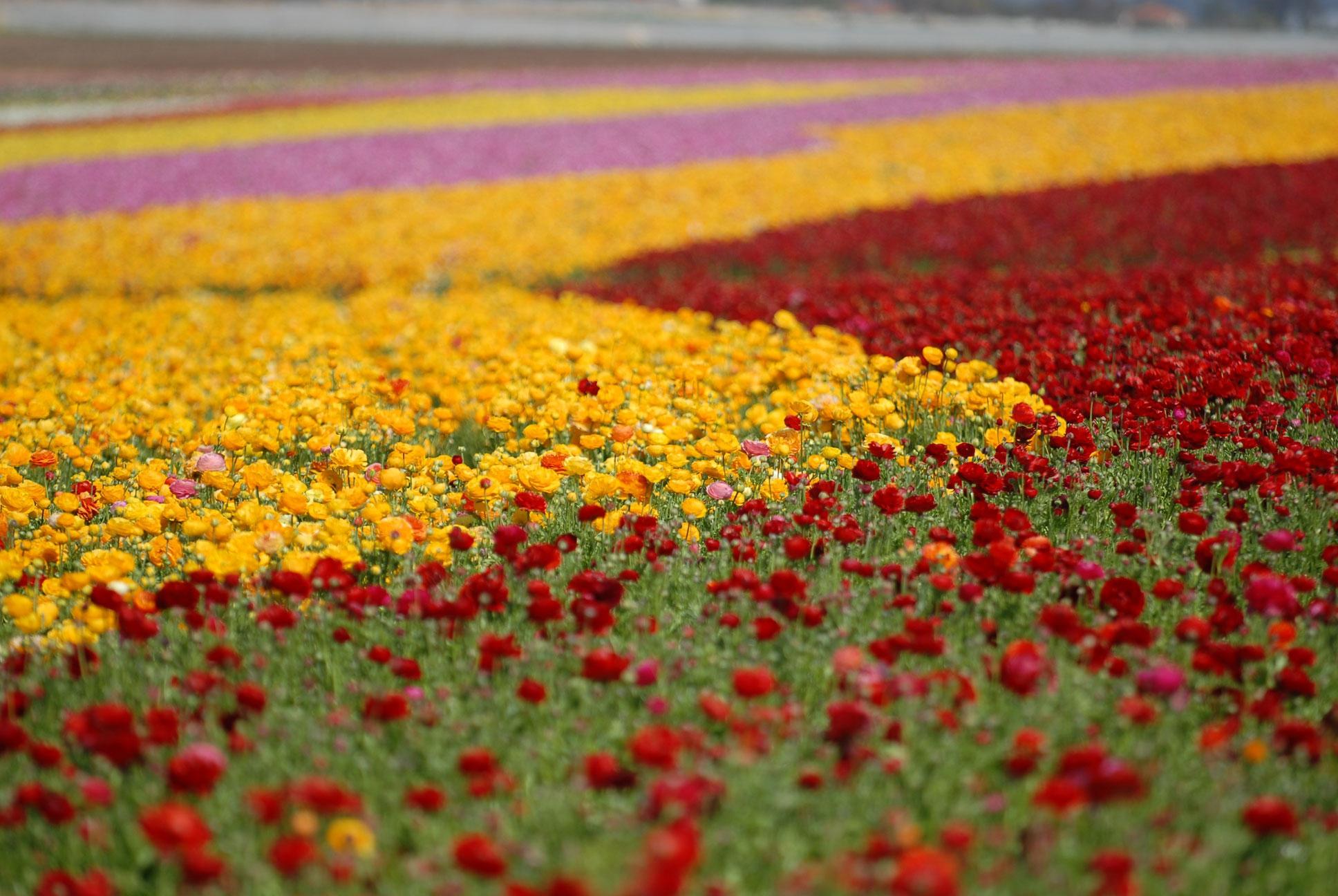 Flower Fields 4k