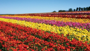 Flower Fields Desktop