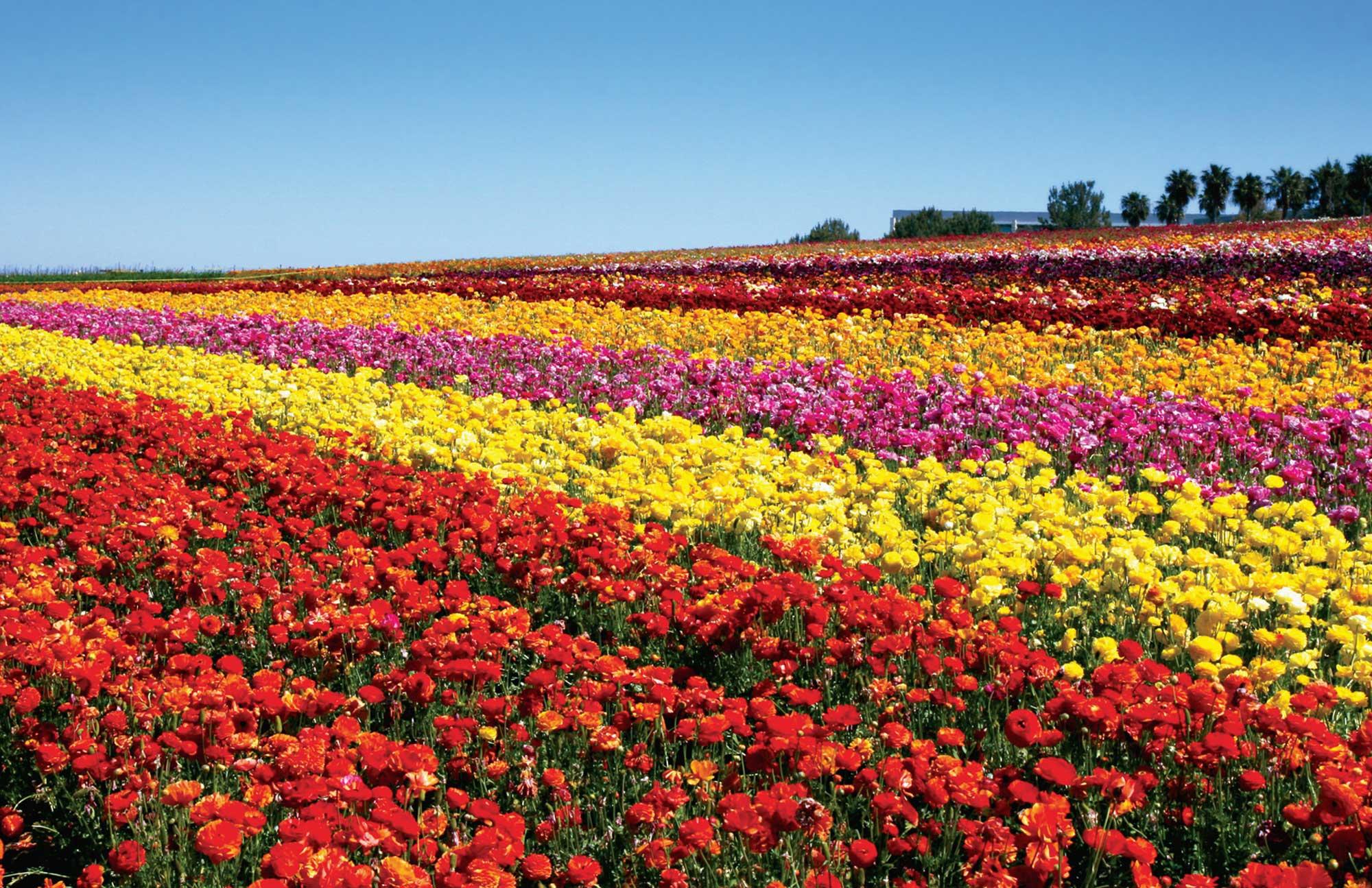 Flower Fields Desktop