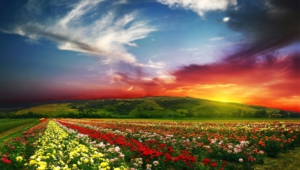 Flower Fields Hd