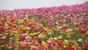 Flower Fields Photos