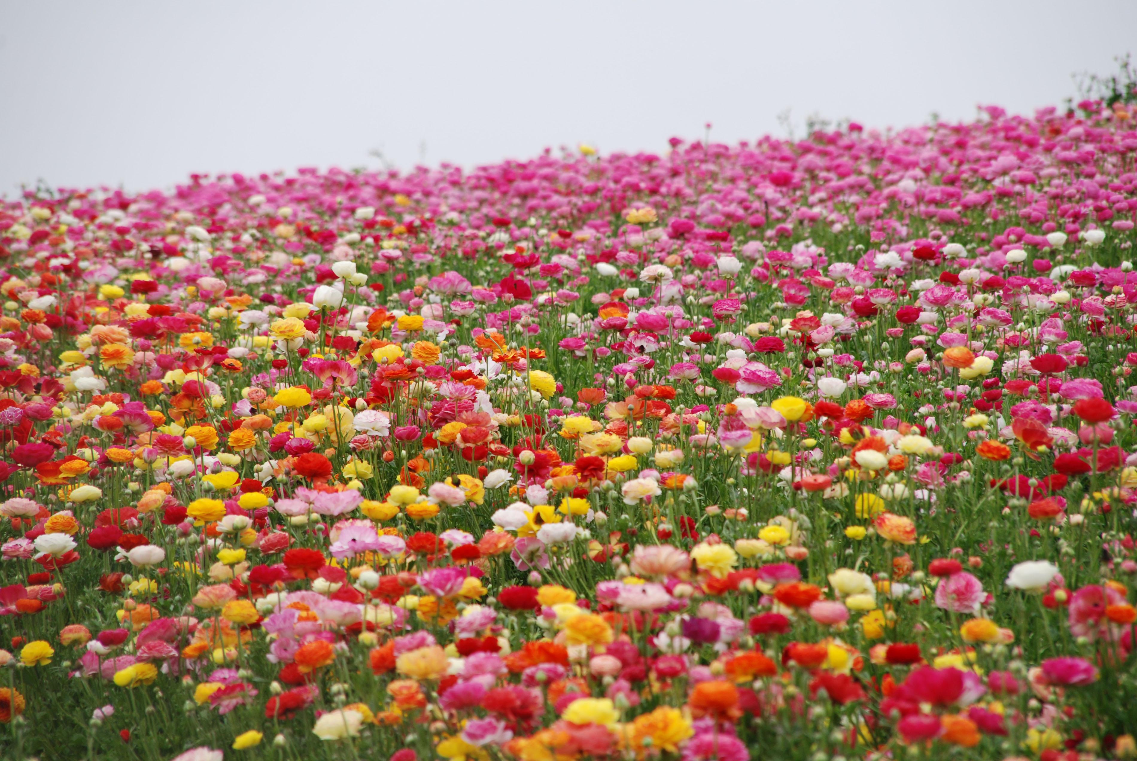 Flower Fields Photos